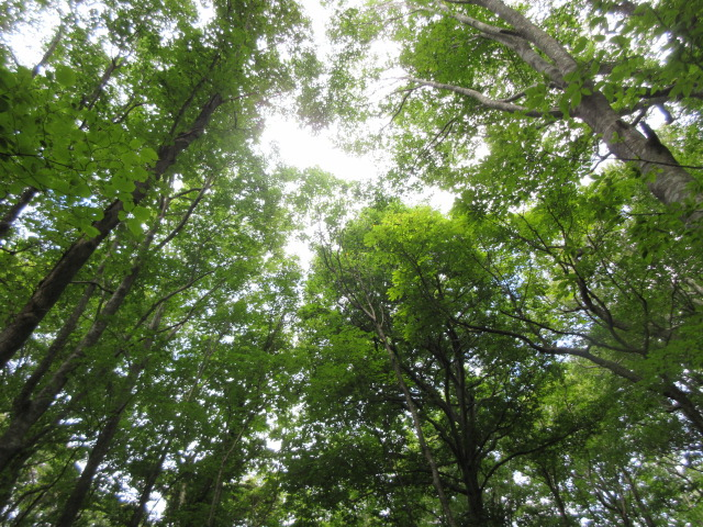 Beech forest of Shirakami-Sanchi