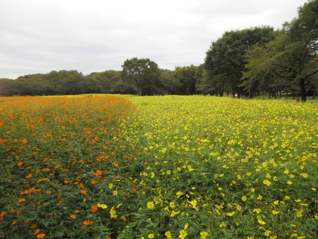 国営昭和記念公園のコスモスまつり