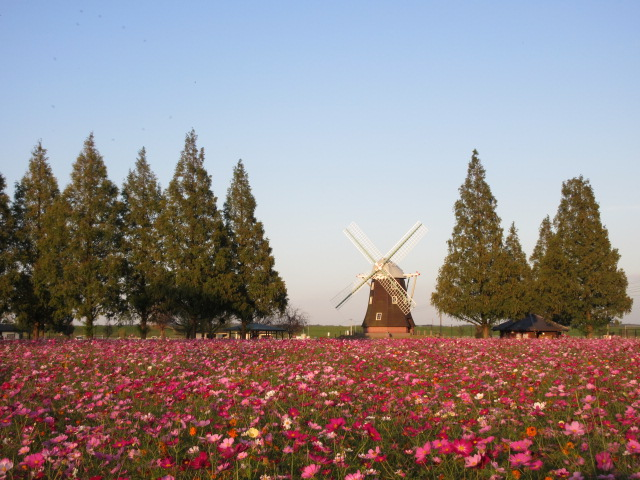 あけぼの山農業公園のコスモス