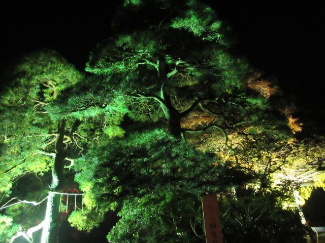 宝登山神社の相生の松