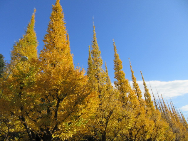 Beautiful Jingu Gaien ginkgo trees