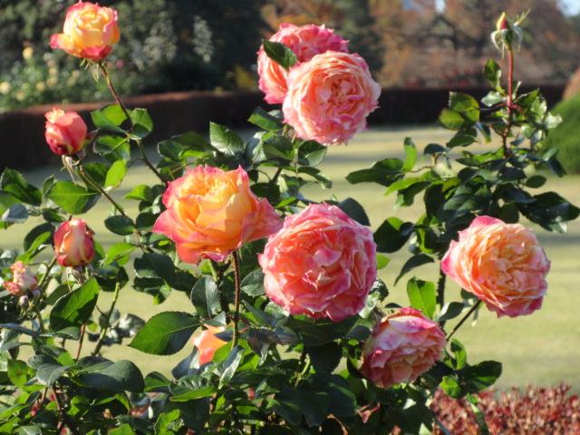見頃を迎えた秋バラ