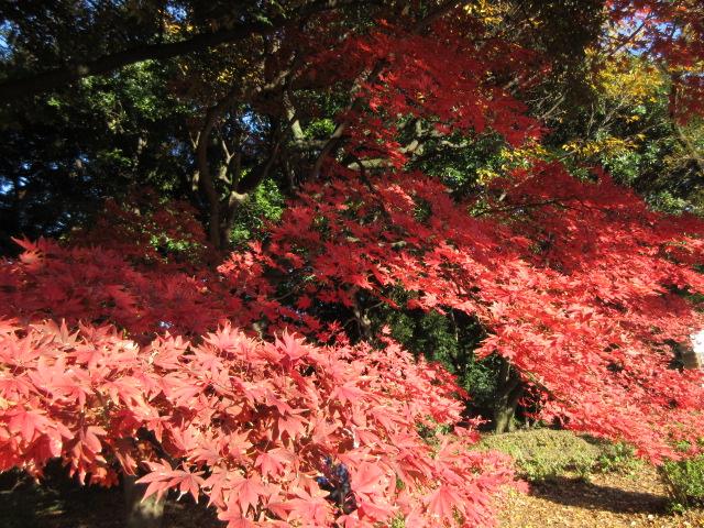 イギリス風景式庭園のカエデ