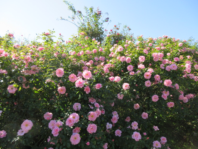 numerous japanese roses