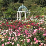 I went to the autumn fair of Keisei Rose Garden to see the biggest autumn rose in Kanto Region