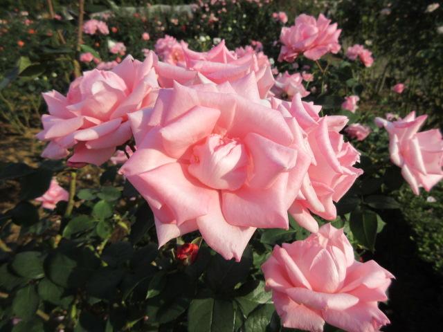 谷津バラ園の秋バラ