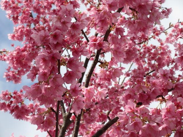 河津桜の開花状況
