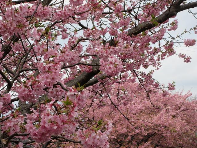 河津川沿いの土手に咲く桜