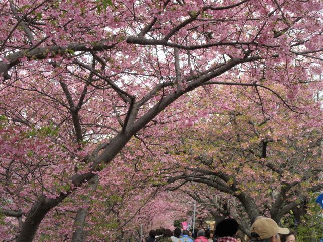 河津桜まつりの混雑状況
