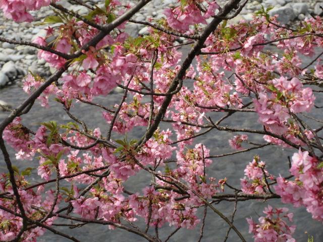 河津川を背景にした桜