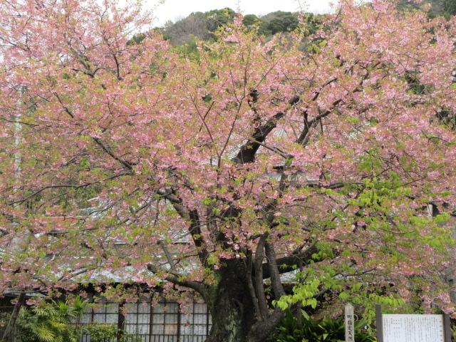 河津桜原木
