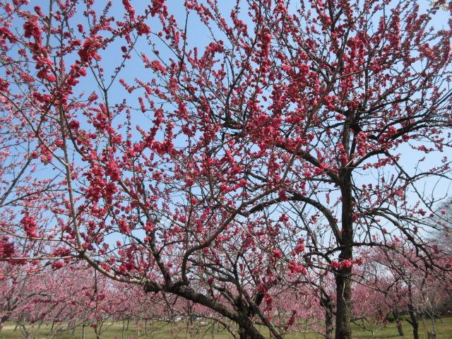 濃い赤色の花桃