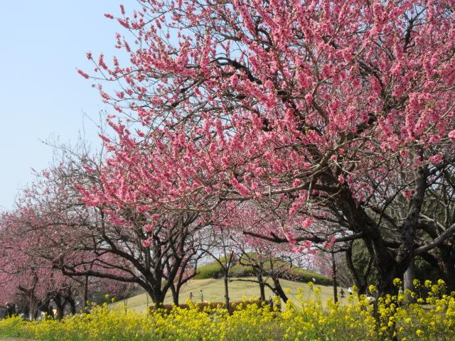 花桃と富士見塚