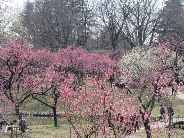 古河桃まつりの花見