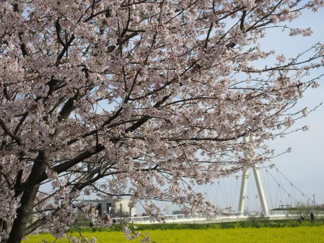 菜の花畑と橋