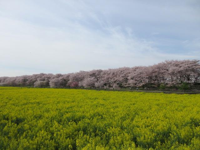 権現堂堤の桜と菜の花