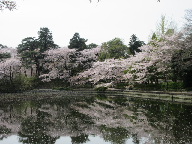 池に反射する桜