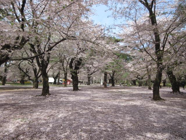 自由広場のソメイヨシノ