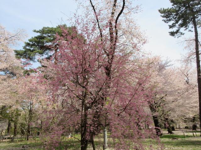 自由広場のしだれ桜