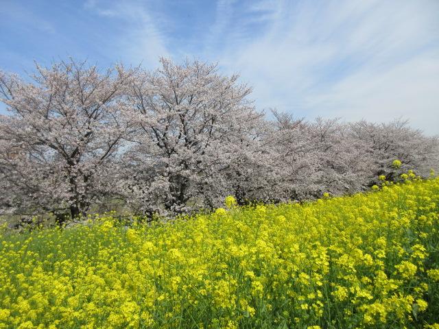熊谷桜堤の開花状況