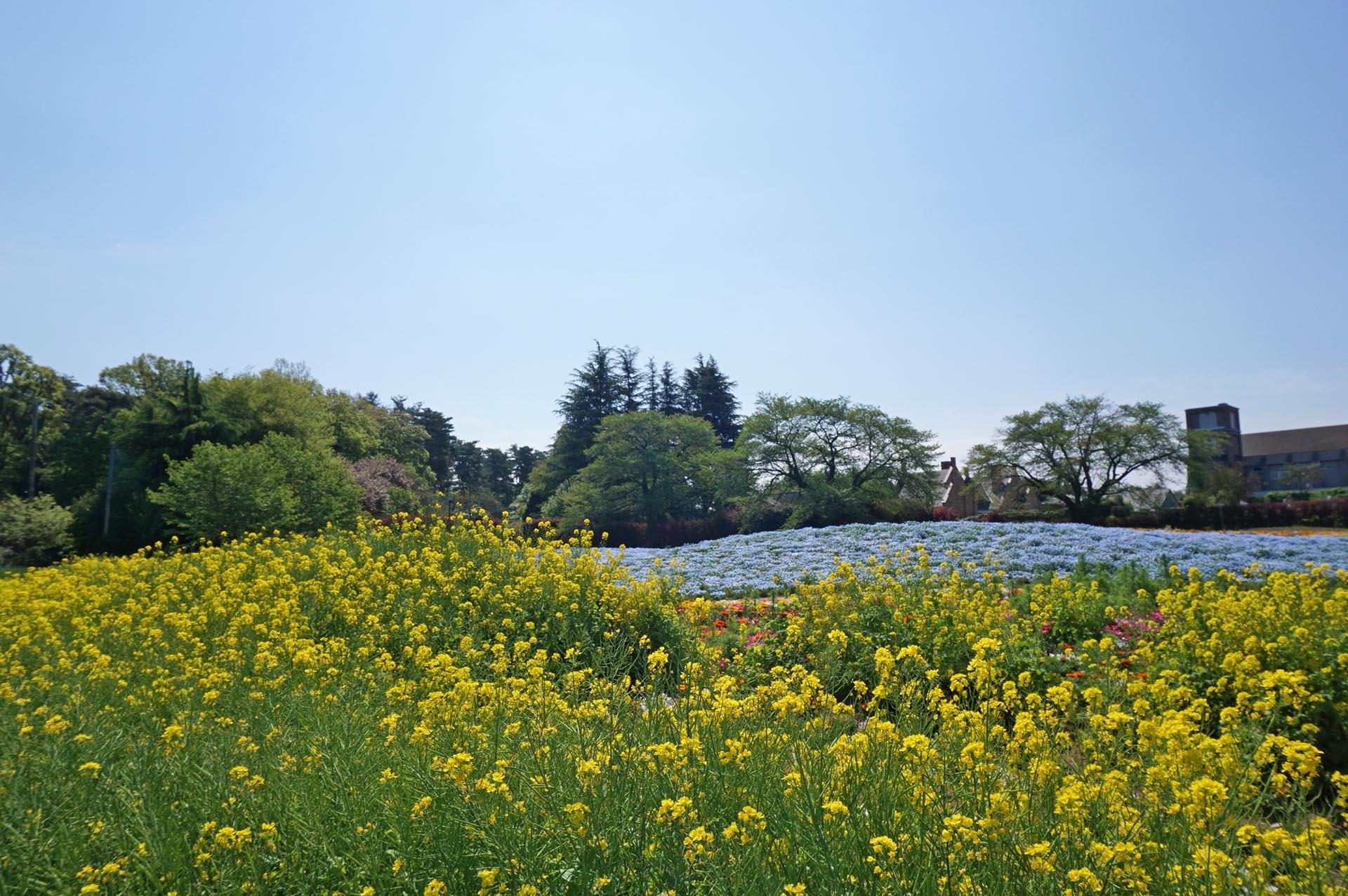 菜の花とネモフィラ