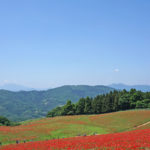 空に手が届きそうな1500万本の花畑、天空のポピーに行きました