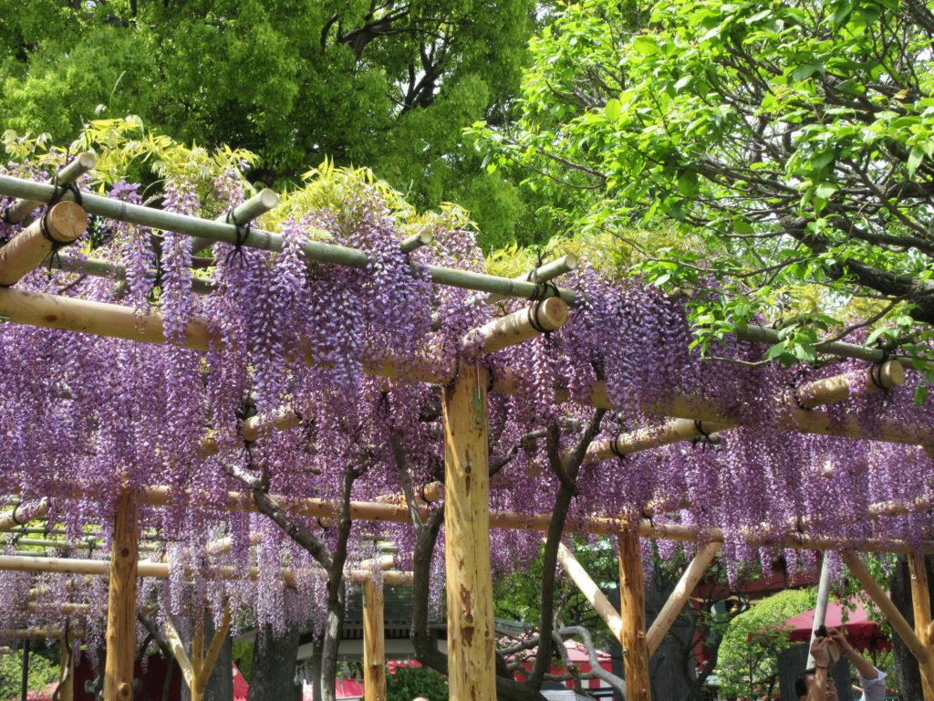 亀戸天神社の藤まつり