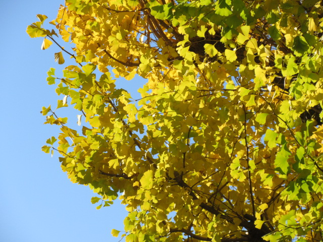 Ginkgo's best time to see it