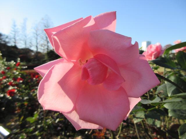 ピンク色の秋バラ