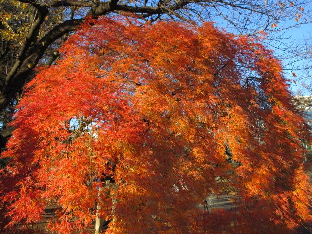 大温室の紅葉