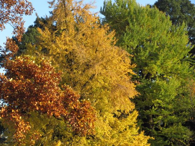 イギリス風景式庭園のイチョウとユリノキ