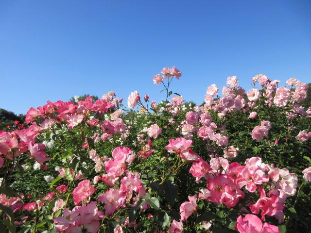 autumn rose of Keisei Rose Garden
