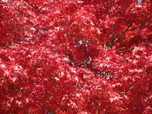 山頂の紅葉のアップ