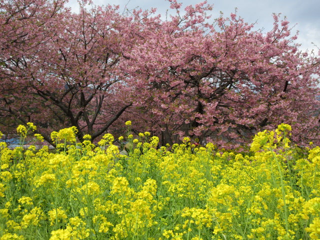 菜の花ロード