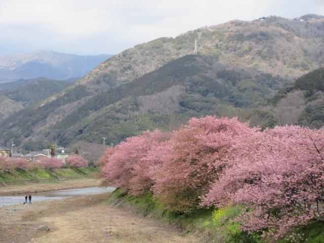 河津桜と山々