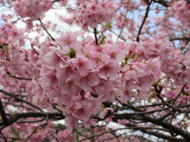 河津桜の拡大写真