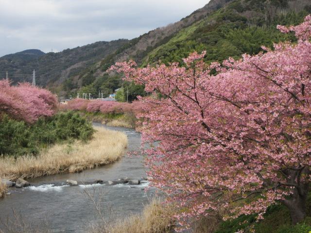 橋の上から撮影した河津桜