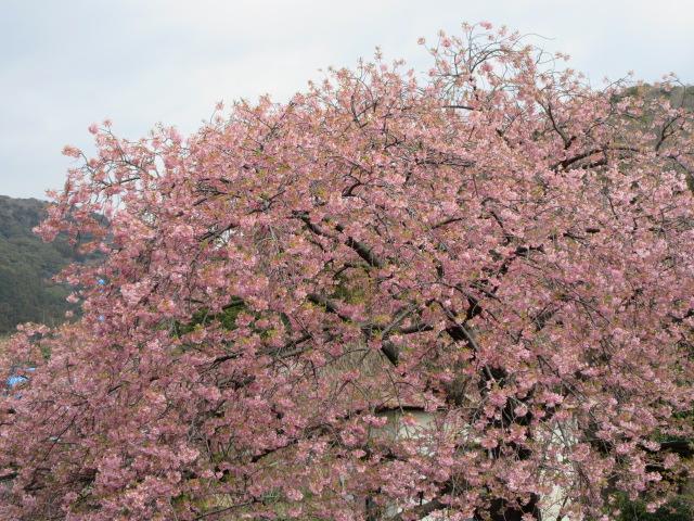 くるまの桜