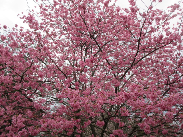 来宮神社の境内に咲く河津桜