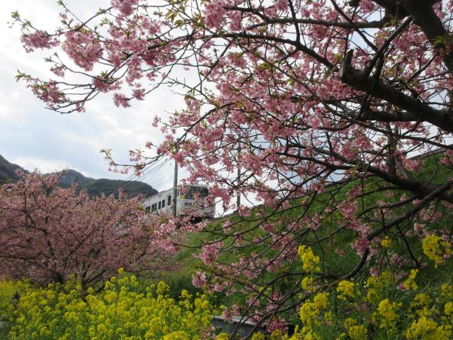 駅前の河津桜と伊豆急行