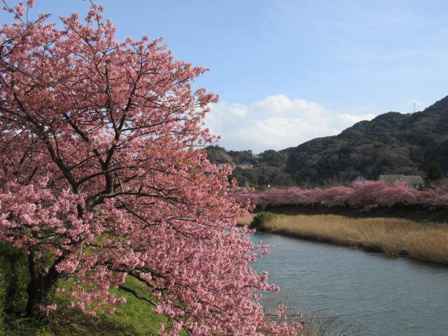 宮前橋付近の河津桜