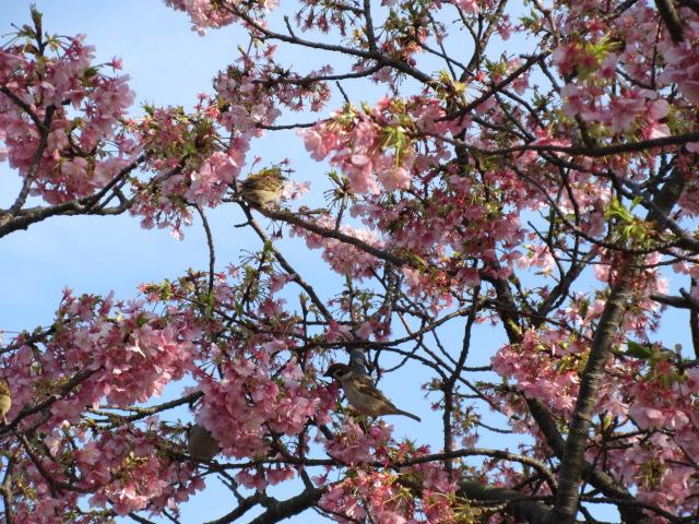 桜の木に集まる鳥