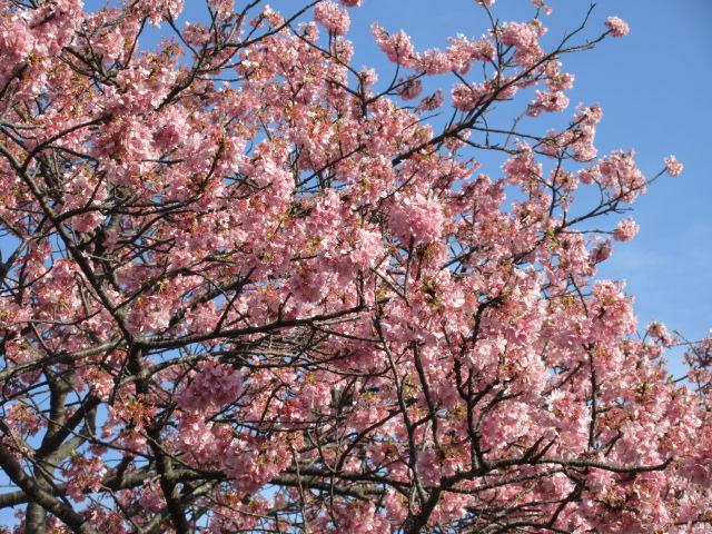 九条橋付近の河津桜