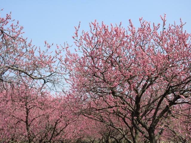 花桃の開花状況