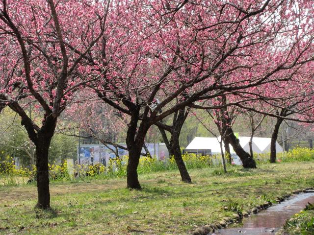 花桃と菜の花