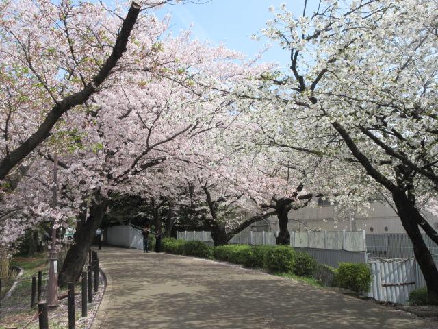 大宮公園の桜の開花状況