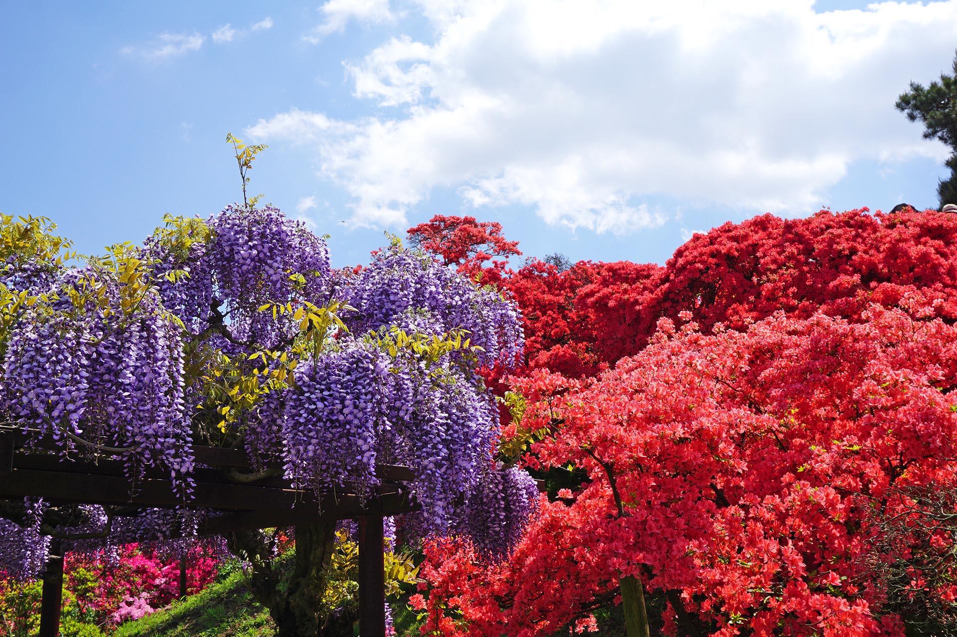 藤の花とツツジ
