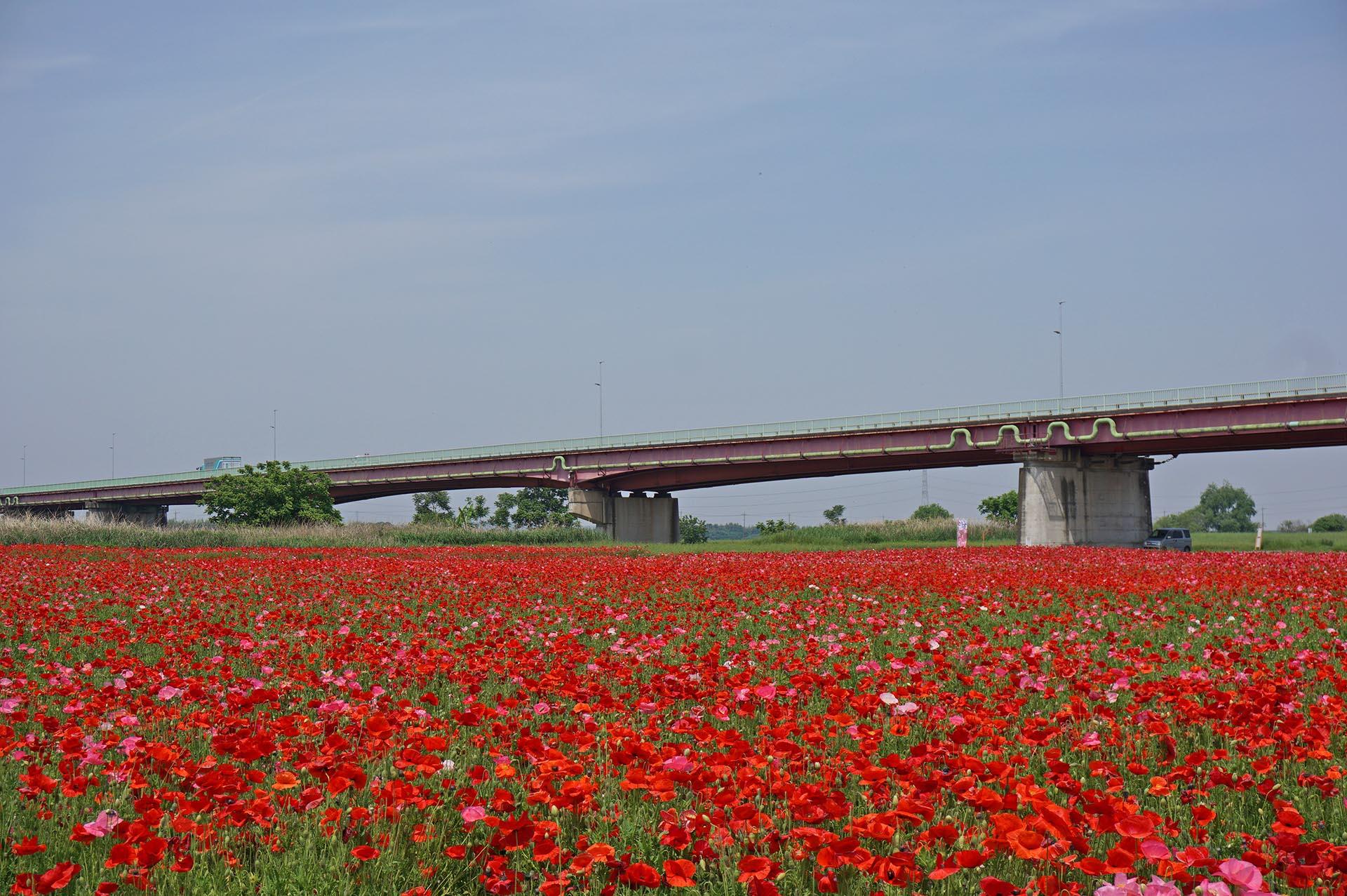 御成橋とポピー