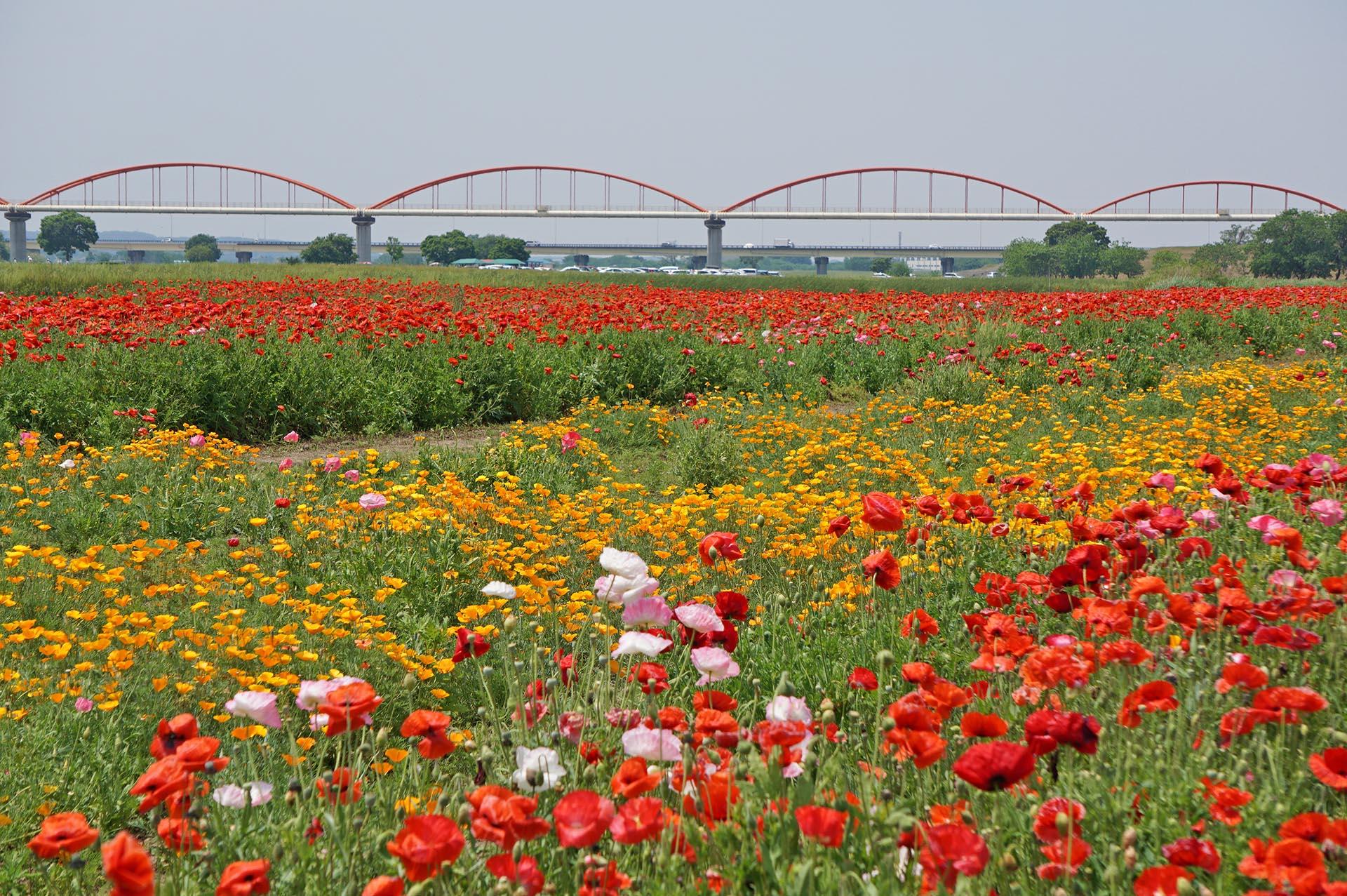 荒川水管橋とポピー
