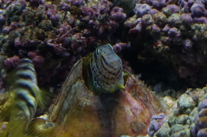 貝殻に隠れるナベカ